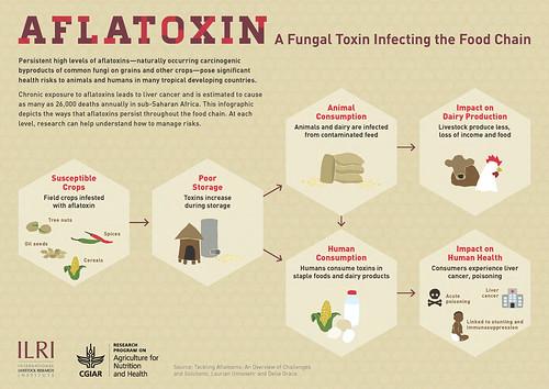 ILRI aflatoxin infographic