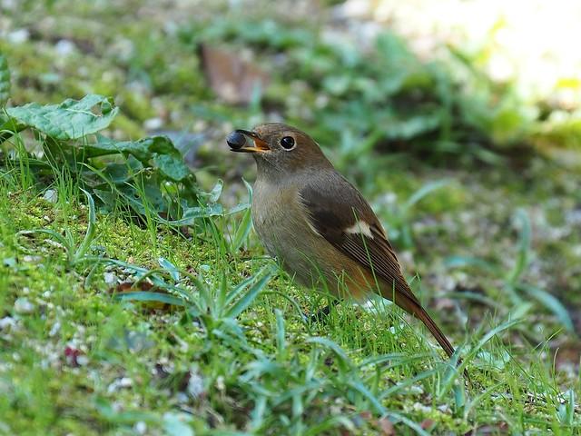 Daurian restart female (Phoenicurus auroreus, ジョウビタキ)