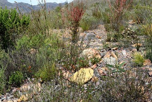 Pelargonium setulosum