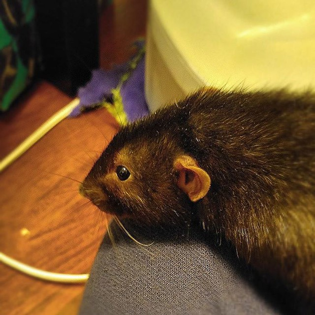Diesely Diesel! #rats #ratsofinstagram #cute #adorable #animals #petsofinstagram #potatoes 🐀