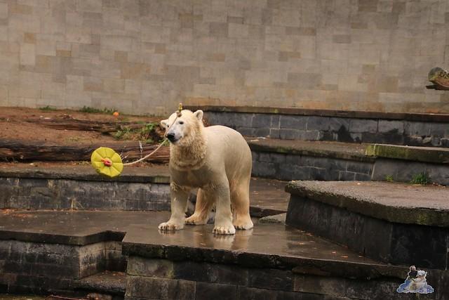 Eisbär Fiete im Zoo Rostock 05.11.2016 017