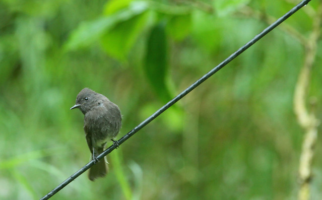 Black phoebe, a fairly common flycatcher at middle elevations.