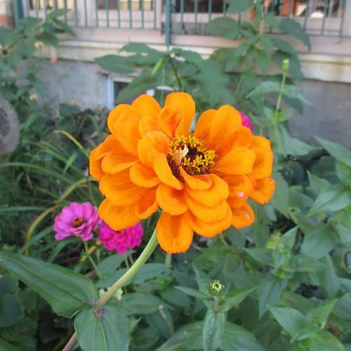 Late orange #toronto #flowers #zinnia #latergram #orange