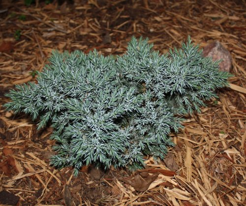 blue_star_juniper