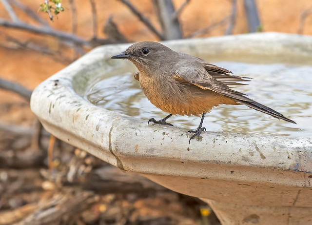 Say's-Phoebe-2-7D2-100816