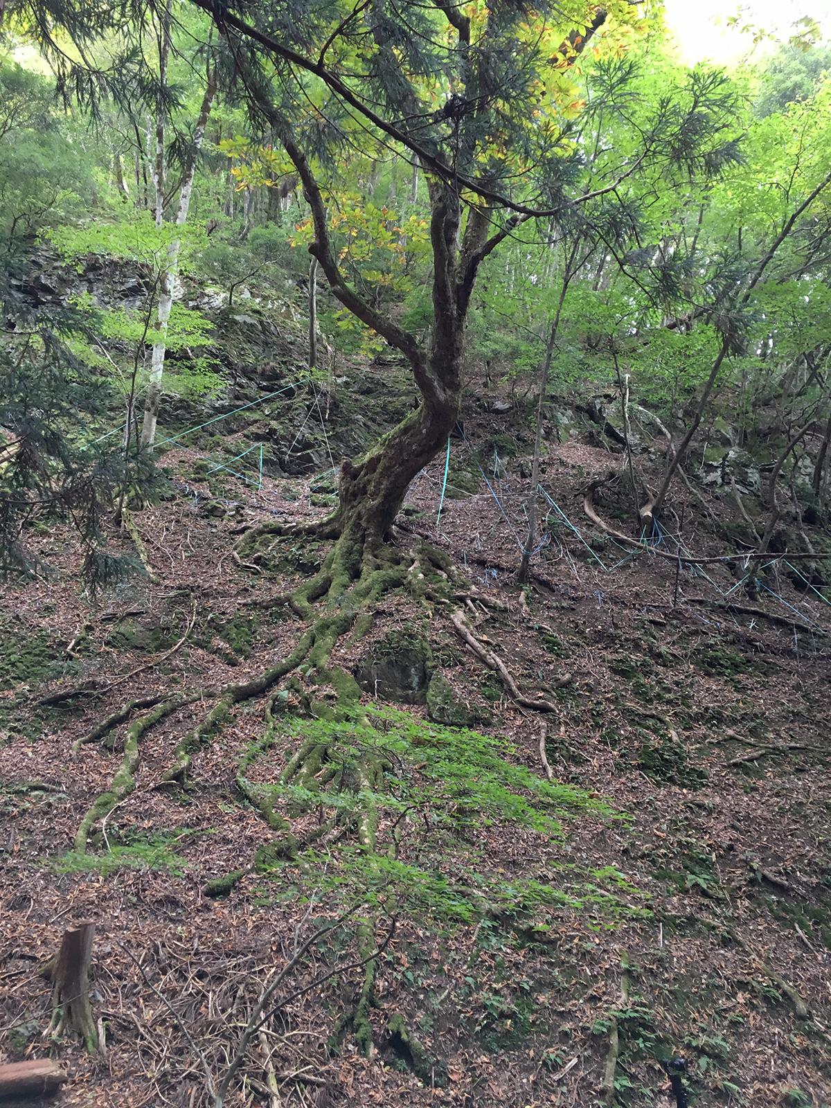斜面のトチノキの根っこがすごい