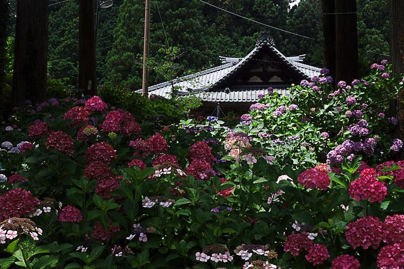 富士川町 あじさい寺、妙法寺