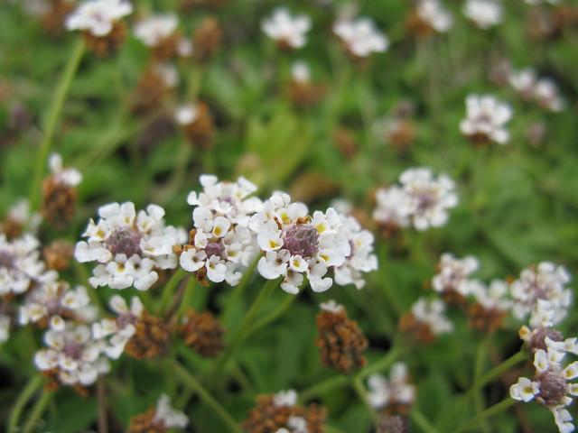 Phyla canescens flowerhead6