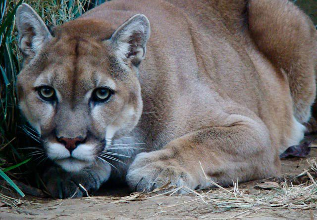 rescue cougars personals Craigslist provides local classifieds and forums for jobs, housing, for sale, services, local community, and events.