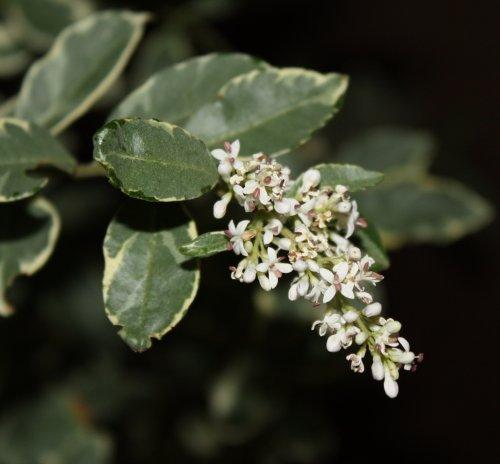 privet_blooms