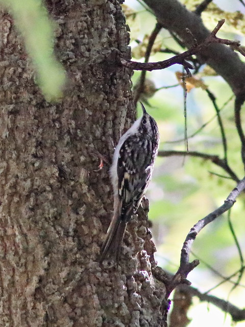 Brown Creeper 20161017
