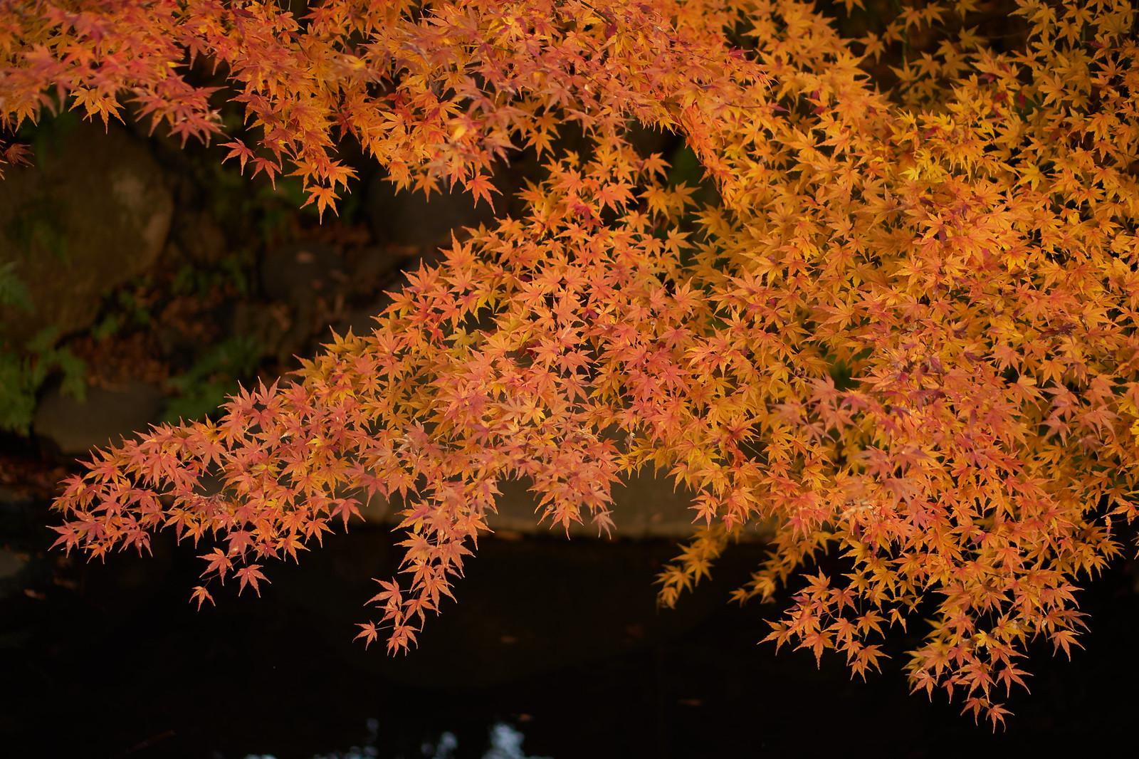 旧古河庭園の紅葉