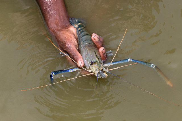 A farmer showing a shrimp caught from his pond in Khulna, Bangladesh. Photo by M. Yousuf Tushar. April 16, 2014