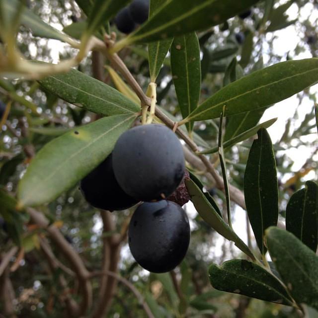 #מסיק #oliveharvest