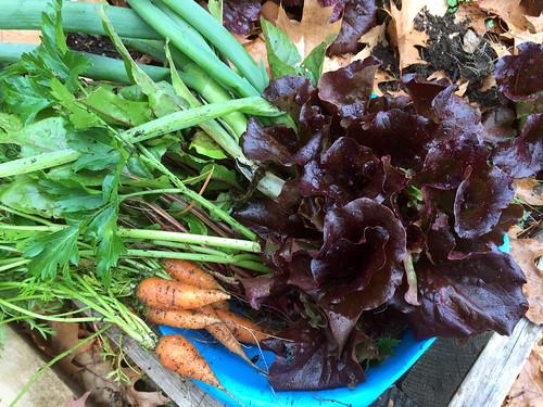 todays harvest IMG_9125