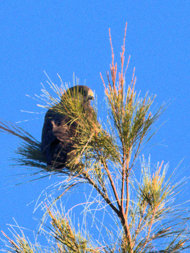 Short-tailed Hawk 06-20161231