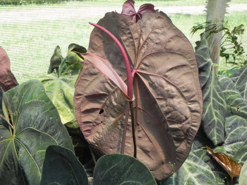 Anthurium ace_of_spades_tholzer