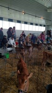 A Bok Family Farm dairy calf is visited by area youth
