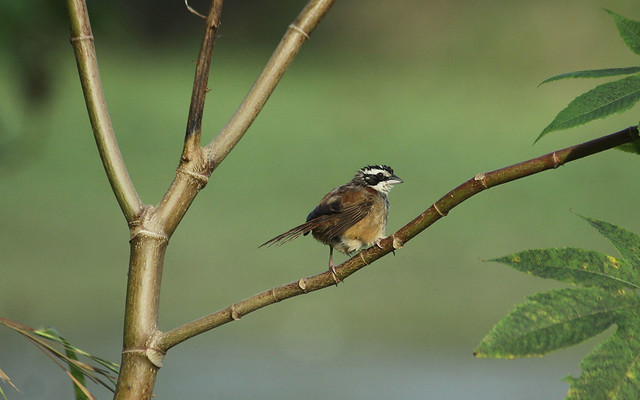 stripe headed sparrow