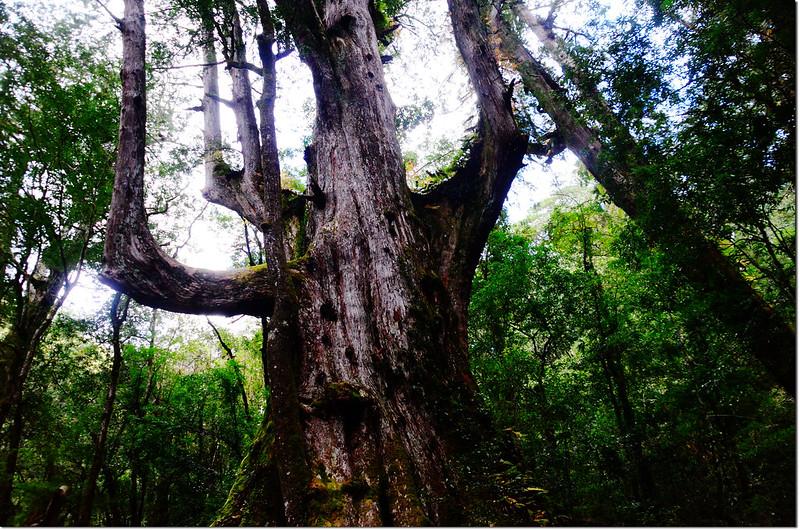 司馬庫斯巨木群大老爺神木 2