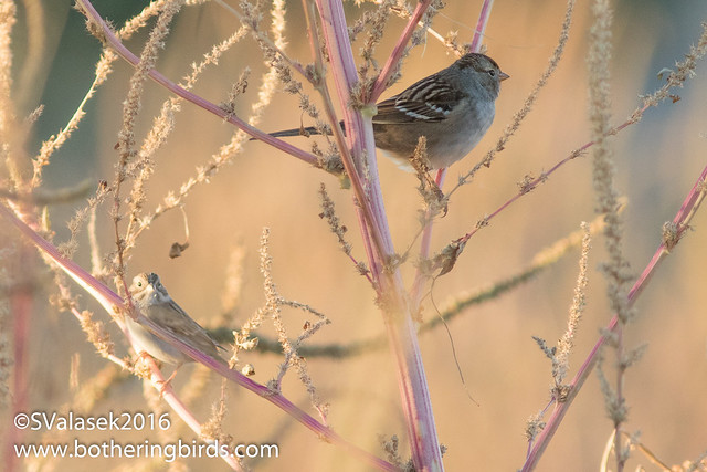 Clay-Colored and White-Crowned Sparrow