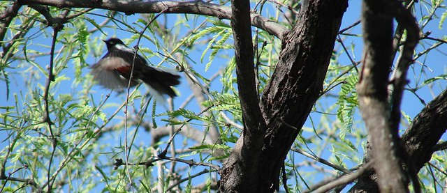 Lowland Painted Redstart Sabino / Bear Canyon IBA April 16 2007 015