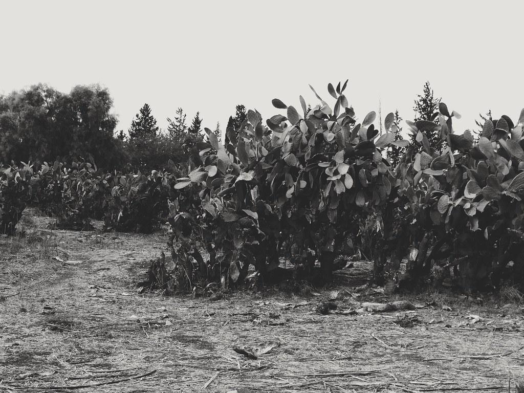 Черно-белые кактусы