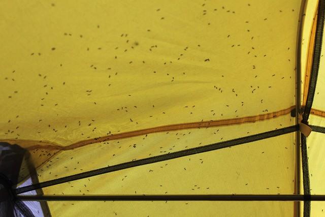 ants on tent