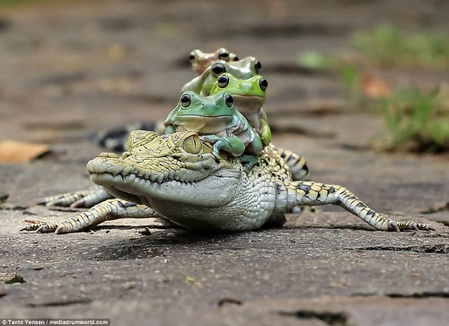 3A0DEA2000000578-3904832-Hilarious_pictures_show_the_moment_the_five_tree_frogs_clambered-a-8_1478258024719