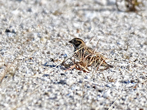 Jones Beach: Lapland Longspur