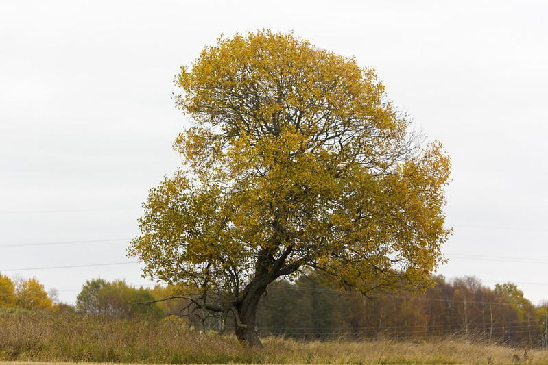 Autum Tree