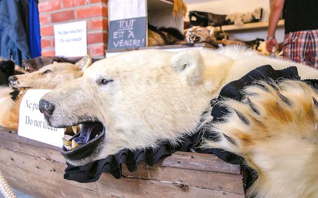 Photo of Polar Bear Pelt