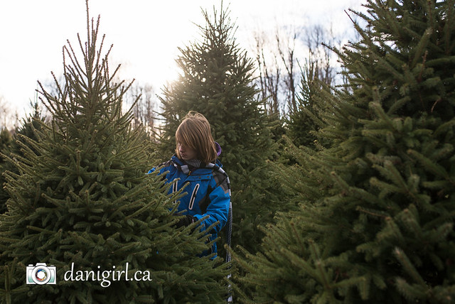 Christmas tree picking 2016-3