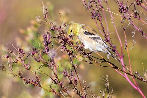 Oakland Lake, NY: American Goldfinch
