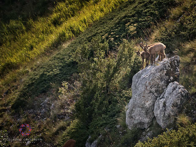 Young Chamois at Sunset