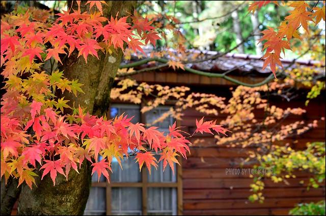福壽山農場楓葉季006