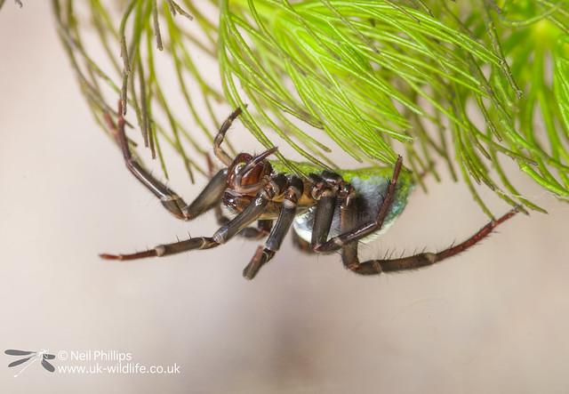 Water spider-6