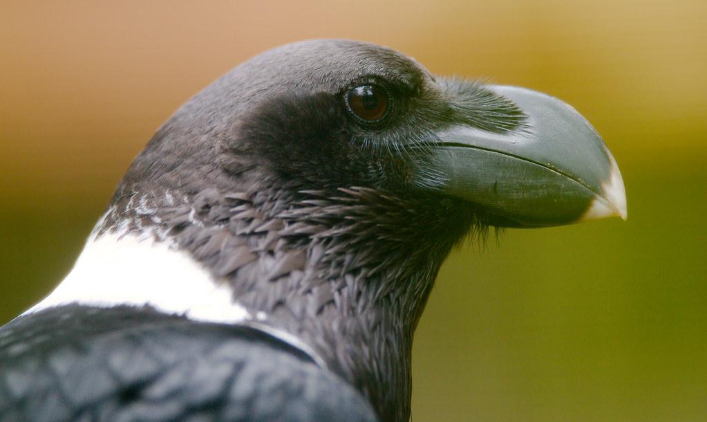 White-necked Raven (Corvus albicollis)_4