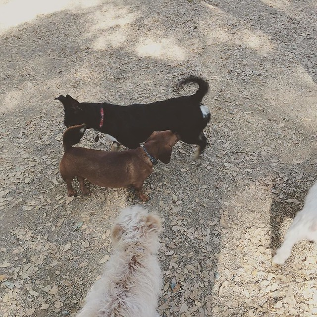 Sniffing butts and other things at the dog park! #dogs #dogsofinstagram
