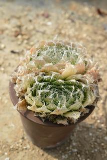 150 Haworthia bolusii var. semiviva  ハオルチア ボルシー セミヒバ