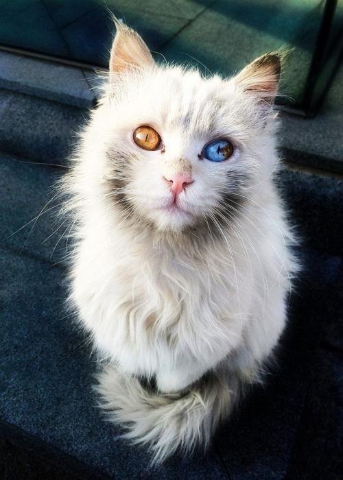 Кот с гетерохромией - ПоЗиТиФфЧиК - сайт позитивного настроения!