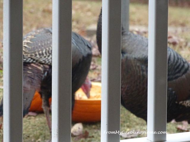 Pumpkins for Turkeys 10