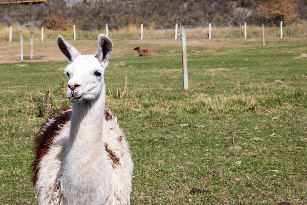 Llama Covert Farms