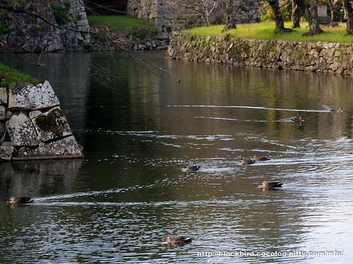 Ducks #01