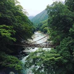 14 meters above a raging yoshinogawa(yoshino river), can you see hubs?!  #祖谷のかずら橋 #latergram #四国 #徳島 #tokushima #shikoku #iyanokazurabashi