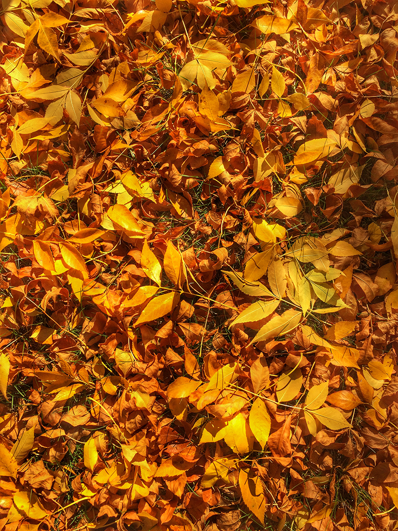 YellowLeaves-800PX-SimiJois-2016