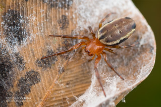 Orb weaver spider (Metazygia sp.) - DSC_7691