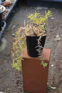DSC_4375 Drosanthemum marinum  ドロサンテマム マリナム