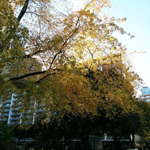 Alexander west of Church #toronto #churchandwellesley #churchstreet #alexanderstreet #fall #autumn #leaves
