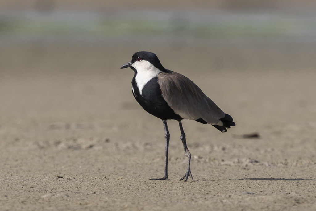 Spur-winged Plover The Gambia 2016